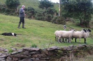 ginn us sheepdogs tw 24716